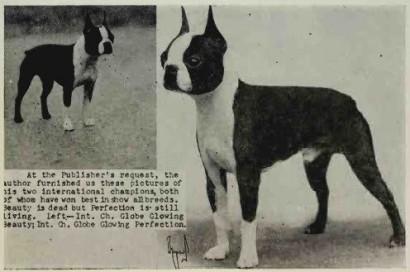 An early Boston Terrier.